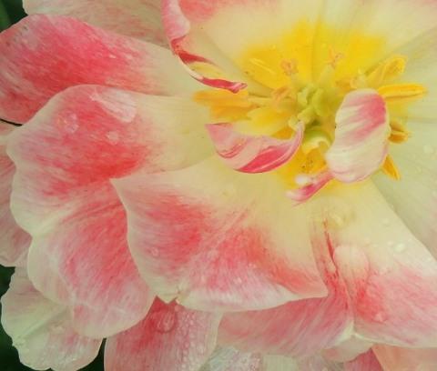 Candy-Cane Tulip